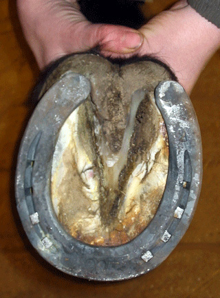 Horses Foot Made To Fit A Shoe